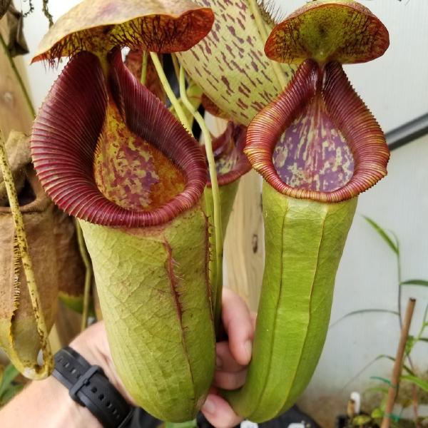 Nepenthes spathulata x lowii. 1. A pitcher on a mature plant, grown by Drew at Carnivero.