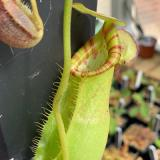 Nepenthes spathulata x lowii. 2. A pitcher on a typical sale plant.