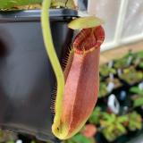 Nepenthes spathulata x lowii. 3. Lots of exciting variation in this cross!