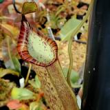 Nepenthes spathulata x spectabilis 'Pinapan'. 1. A pitcher on a typical sale plant.