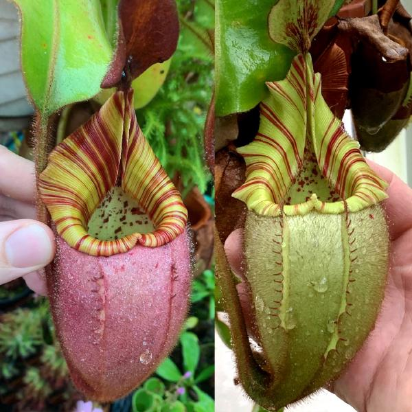 Nepenthes veitchii 'Candy' x 'Yamada'. 1. The parent plants, photographed in Christian's greenhouse.