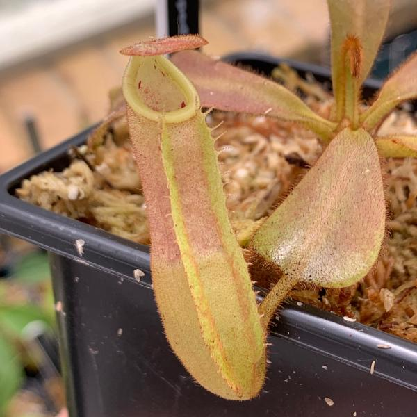Nepenthes veitchii 'Murud striped' x 'Yellow peristome'. 1. A pitcher on a typical sale plant.