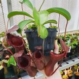 Nepenthes ventricosa x lowii 'red'. 2. A very large specimen of this exact clone.