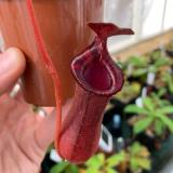 Nepenthes ventricosa x lowii 'red'. 3. A pitcher on a typical sale plant.