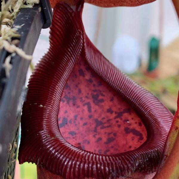 Nepenthes (ventricosa x sibuyanensis) 'Squat' x truncata 'Red' (EP). 1. A pitcher on the exact plant which is for sale.
