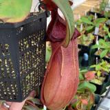 Nepenthes (ventricosa x sibuyanensis) 'Squat' x truncata 'Red' (EP). 2. A pitcher on the exact plant which is for sale.